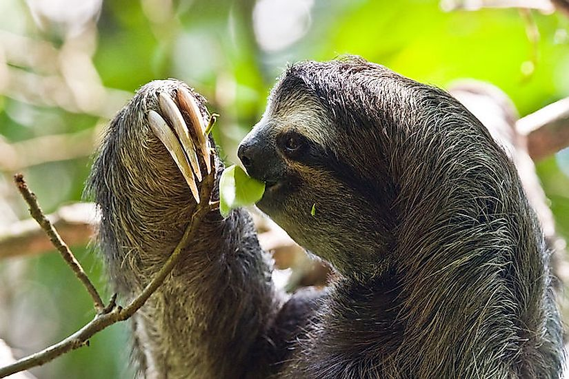 A  three-toed-sloth at the Cahuita National Park in Costa Rica.