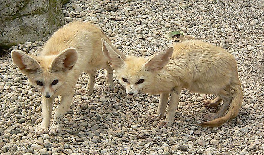 #3 Desert Foxes (Fennec Fox, Pale Fox and Rüppell's Fox)