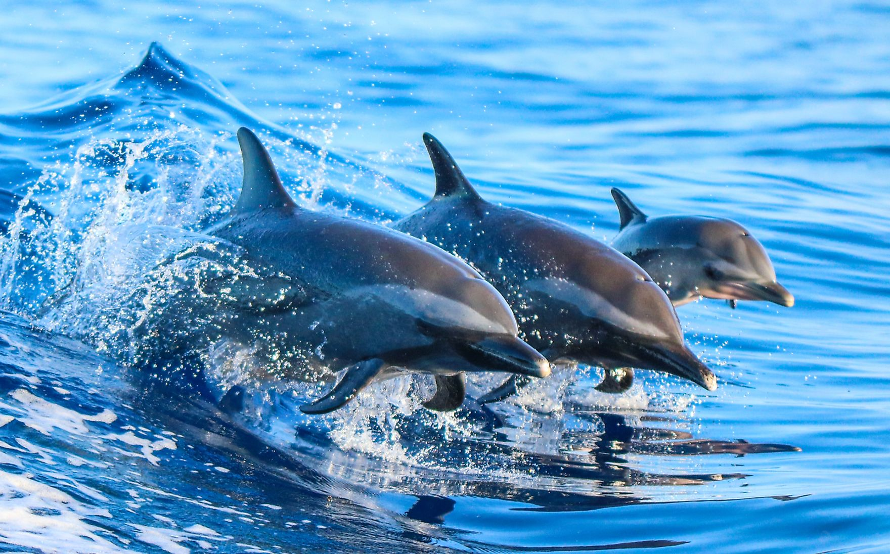 A family of dolphins in Hawaii.