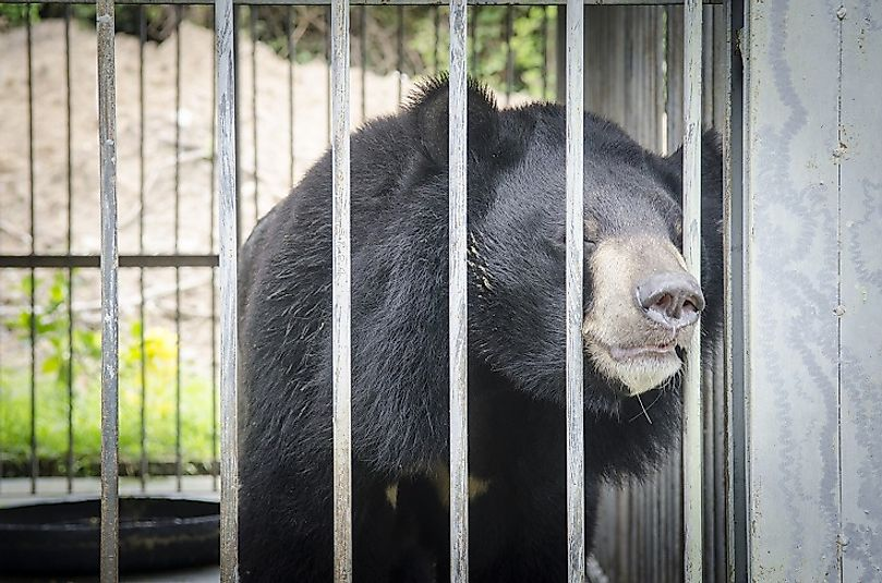 "Asiatic black bears are frequently ""farmed"" within cages and exploited for their bile, which is used to treat a number of ailments in traditional Eastern medicine."