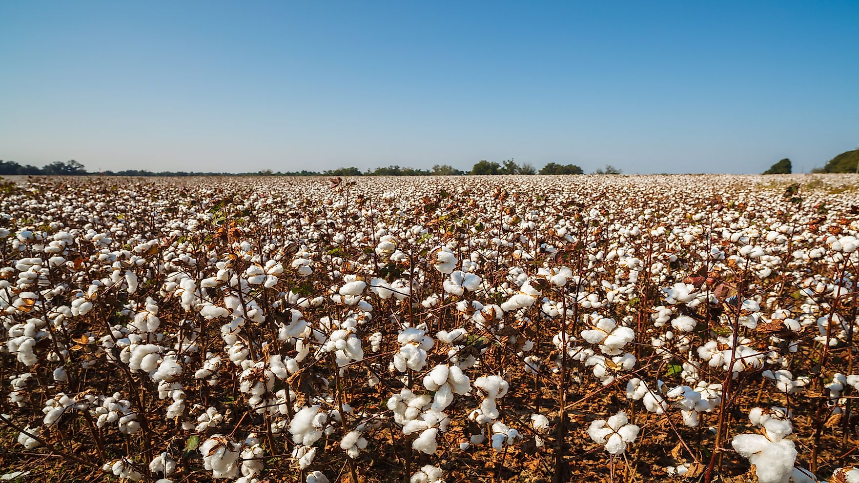 Cotton is one of the major crops grown in Alabama.