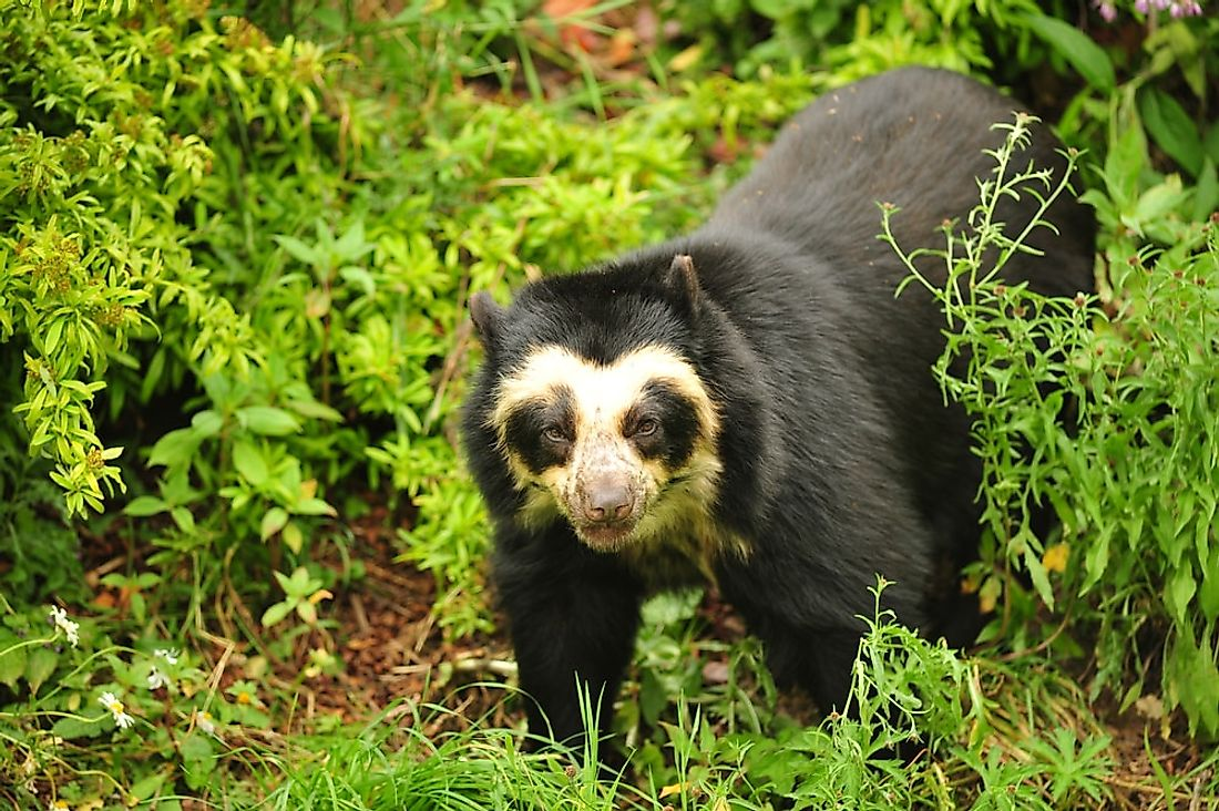 A spectacled bear in the forest.