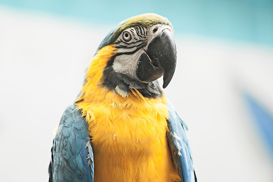 The blue-throated macaw is among the types of endangered parrots.