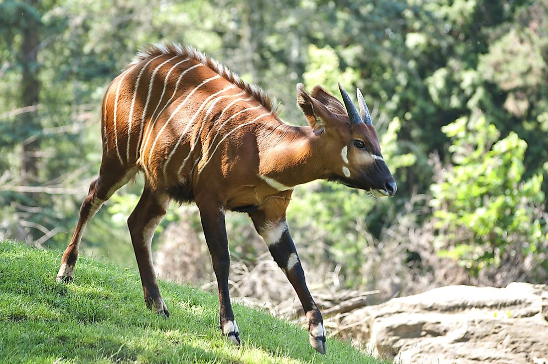 The bongo inhabits the forests of Western and Eastern Africa.