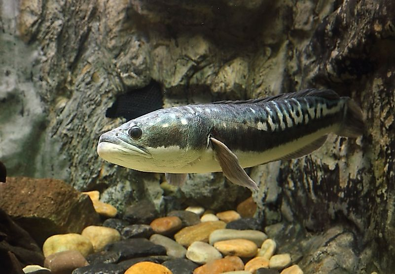 Closeup view of a Giant Snakehead (Channa micropeltes).