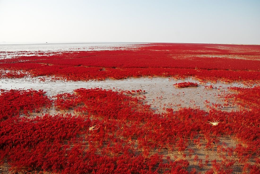 Red Beach's marsh landscape is characterized by its dinstinctive red reed grasses.