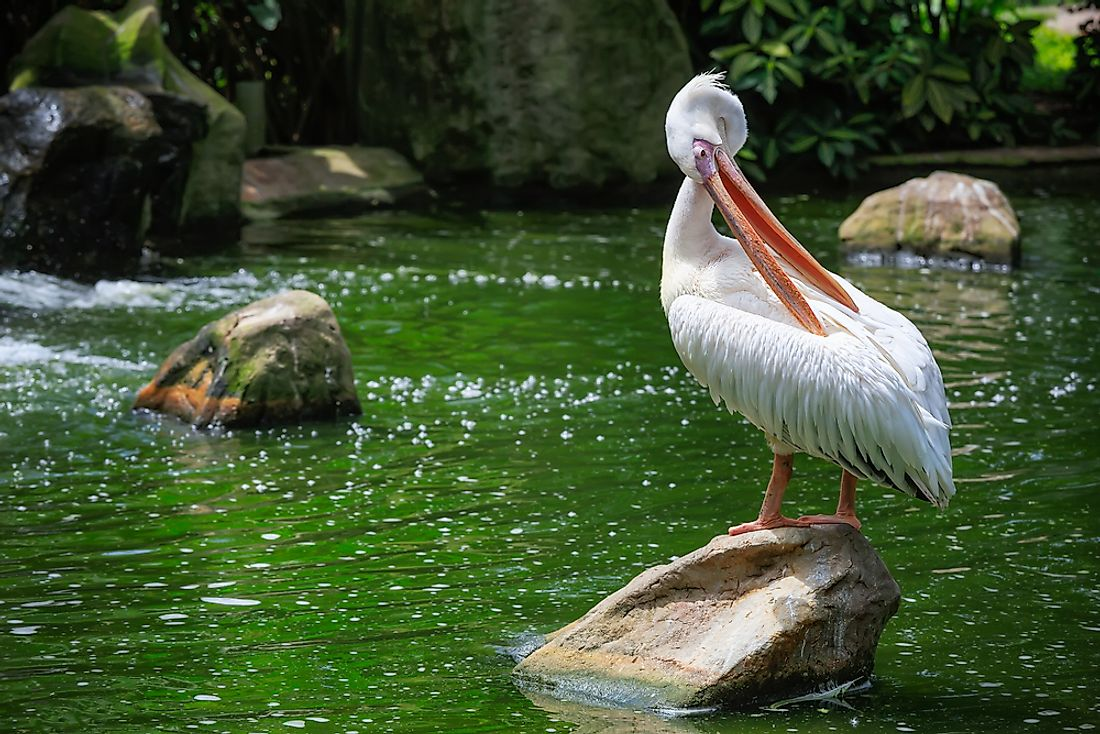 A great white pelican.