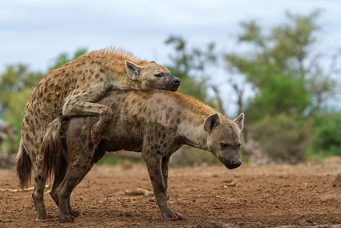 The rare sight of spotted hyenas mating
