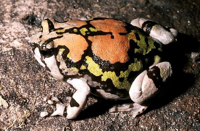 A Rainbow Burrowing Frog at the bottom of a rocky canyon in south-central Madagascar.