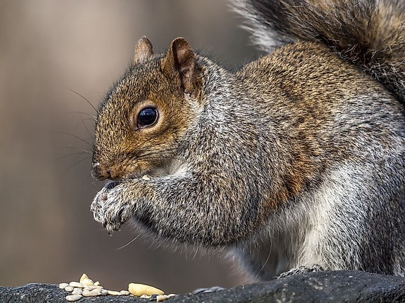 An Eastern Gray Squirrel assumes its iconic hunched over stance as it feeds.