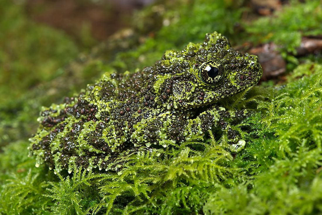 A Vietnamese mossy frog exhibiting camouflage.