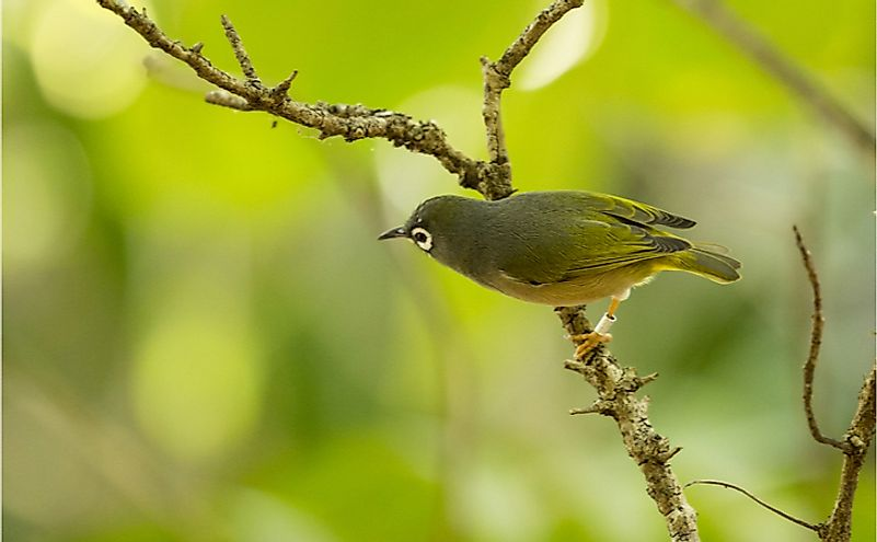 Extremely rare, critically endangered Mauritius olive white-eye (Zosterops chloronothos) perching on a thin tree branch in a forest on an island off the coast of Mauritius.