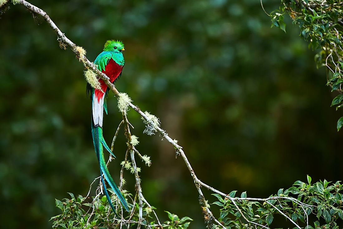 The resplendent quetzal is endemic to Central America.
