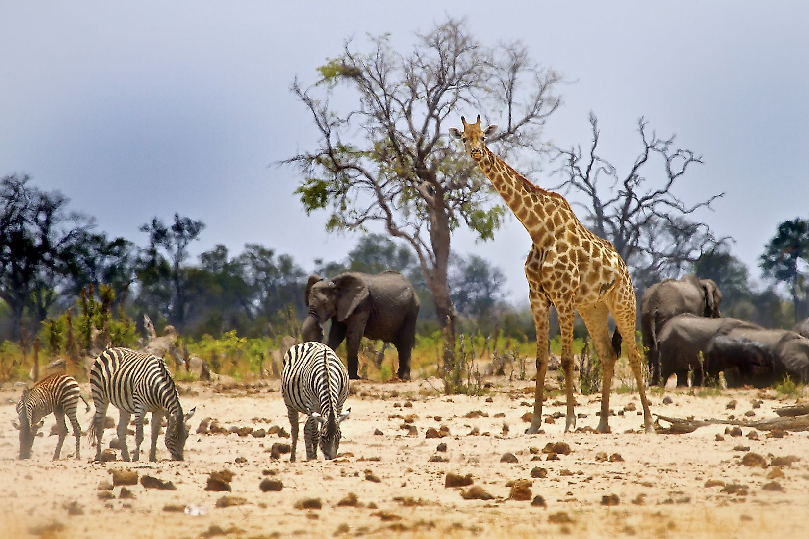Zebra, Giraffe and elephant at a waterhole in Hwange National Park - Zimbabwe. Image credit: Paula French/Shutterstock.com