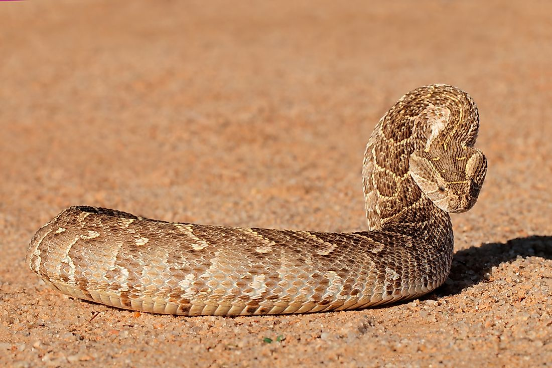 A puff adder in southern Africa.