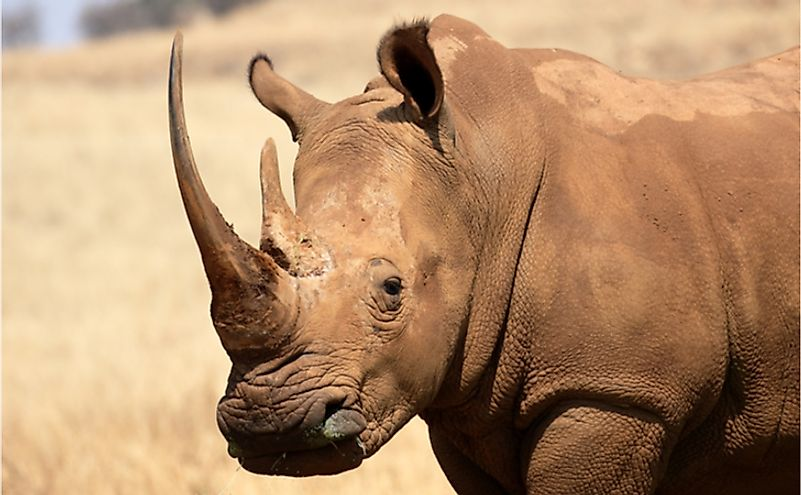 A close-up of a white rhinoceros.
