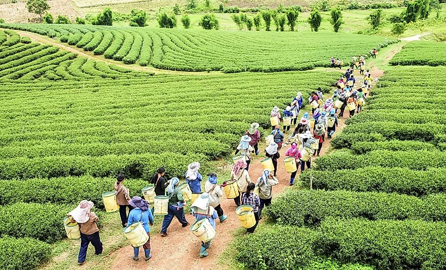 A group of harvesters begin their leaf picking day on an organic tea farm in the highlands of Assam State in northeast India.