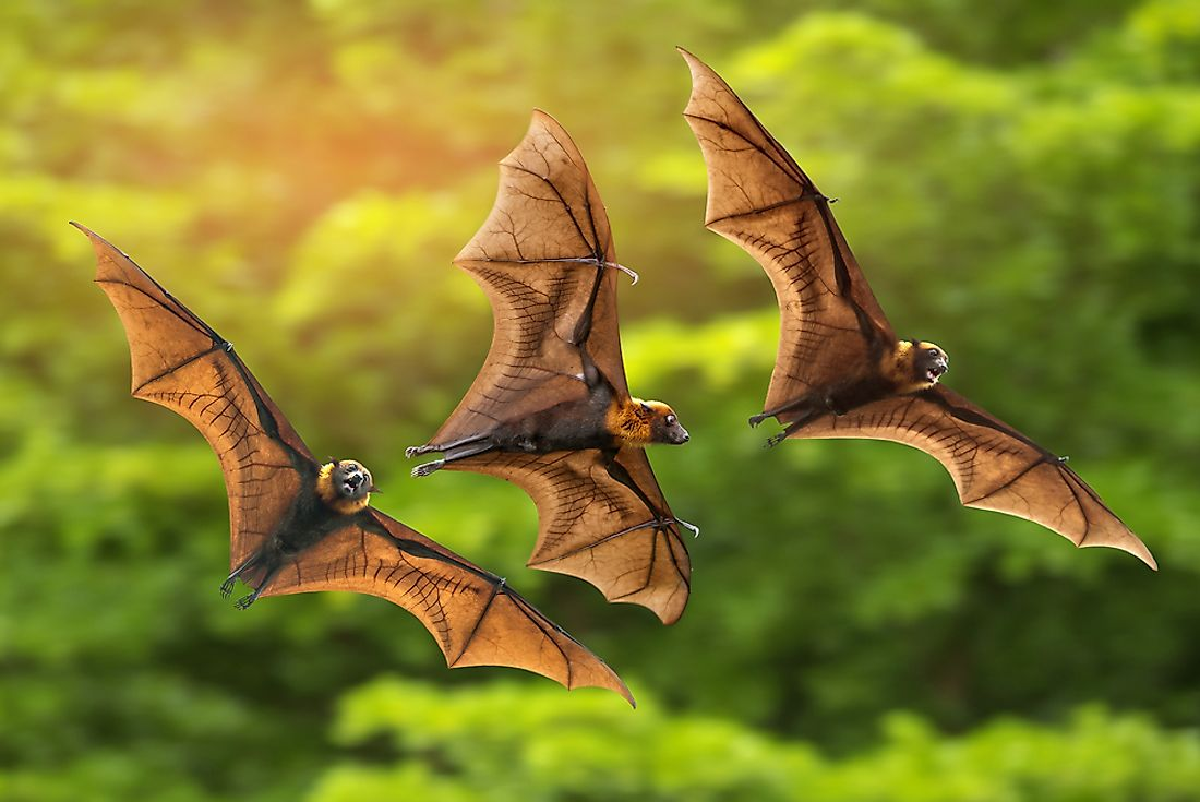Bats are the only mammals that are able to maintain a sustained flight.