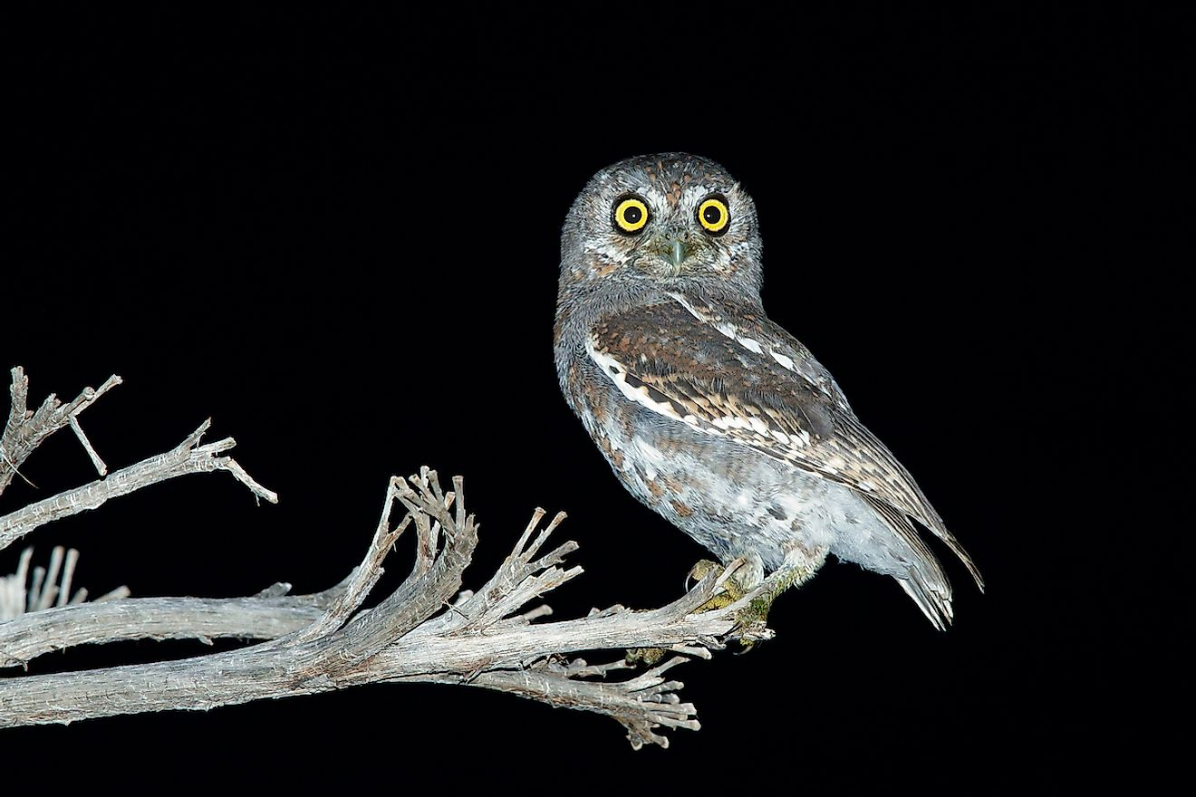 Adult Elf Owl in Brewster County, Texas, USA. Image credit: Agami Photo Agency/Shutterstock.com