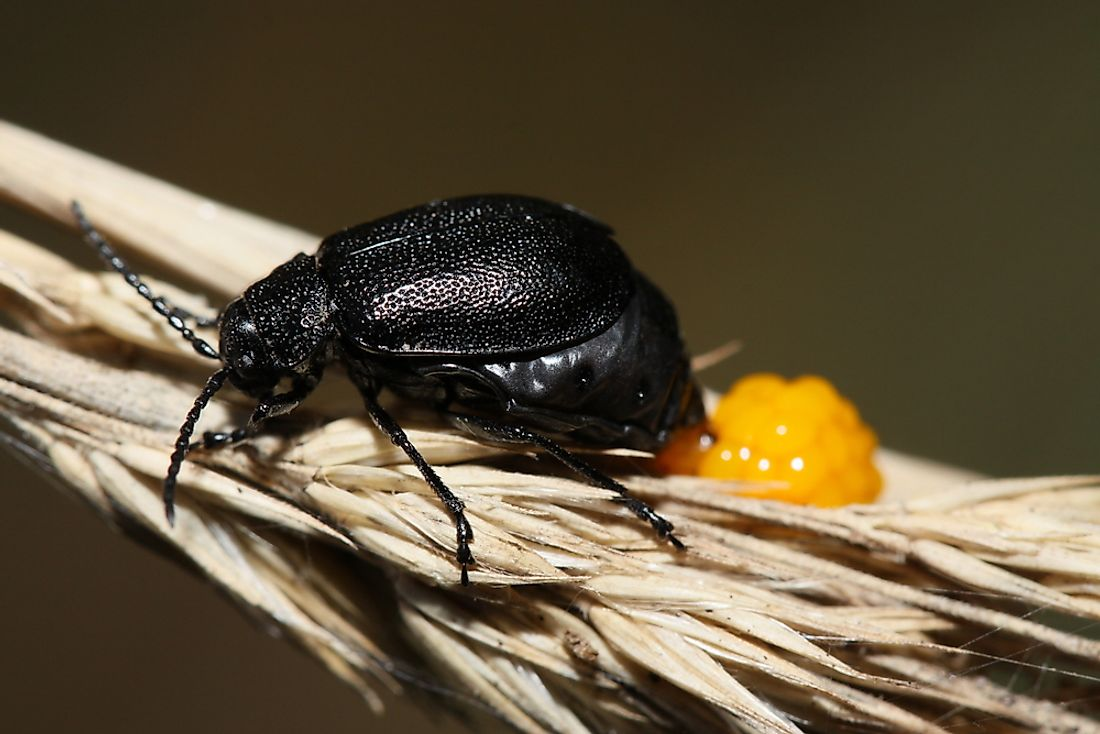 Many Arthropods lay eggs, such as the black beetle pictured.