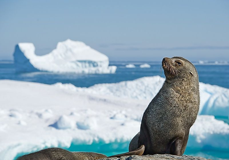 Antarctic Fur Seals are most commonly seen on the Antarctic Peninsula and sub-Antarctic islands to the north.