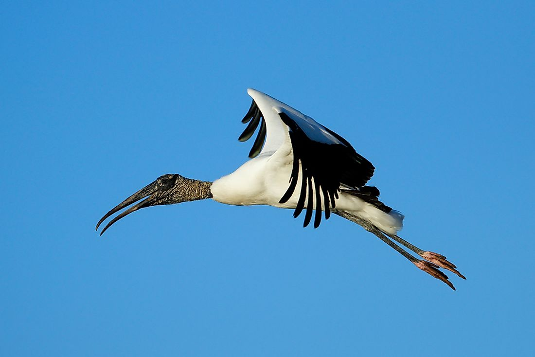 A wood stork flies in the skies over the Everglades.