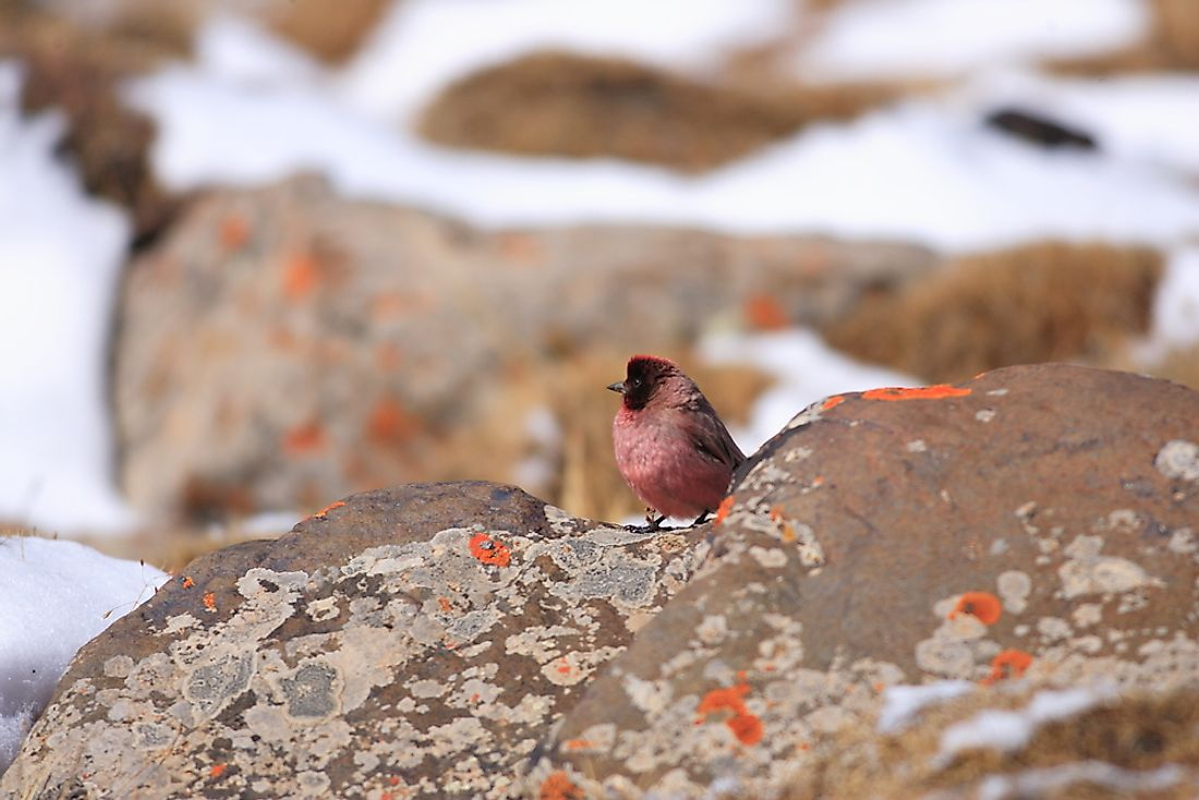 A Tibetan rosefinch in China.