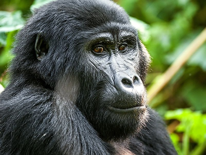 Mountain gorillas face some of the gravest dangers of any species living in the Democratic Republic of the Congo.