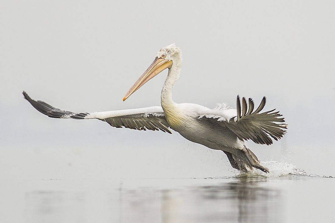 The Dalmatian pelican is the world's largest freshwater bird.