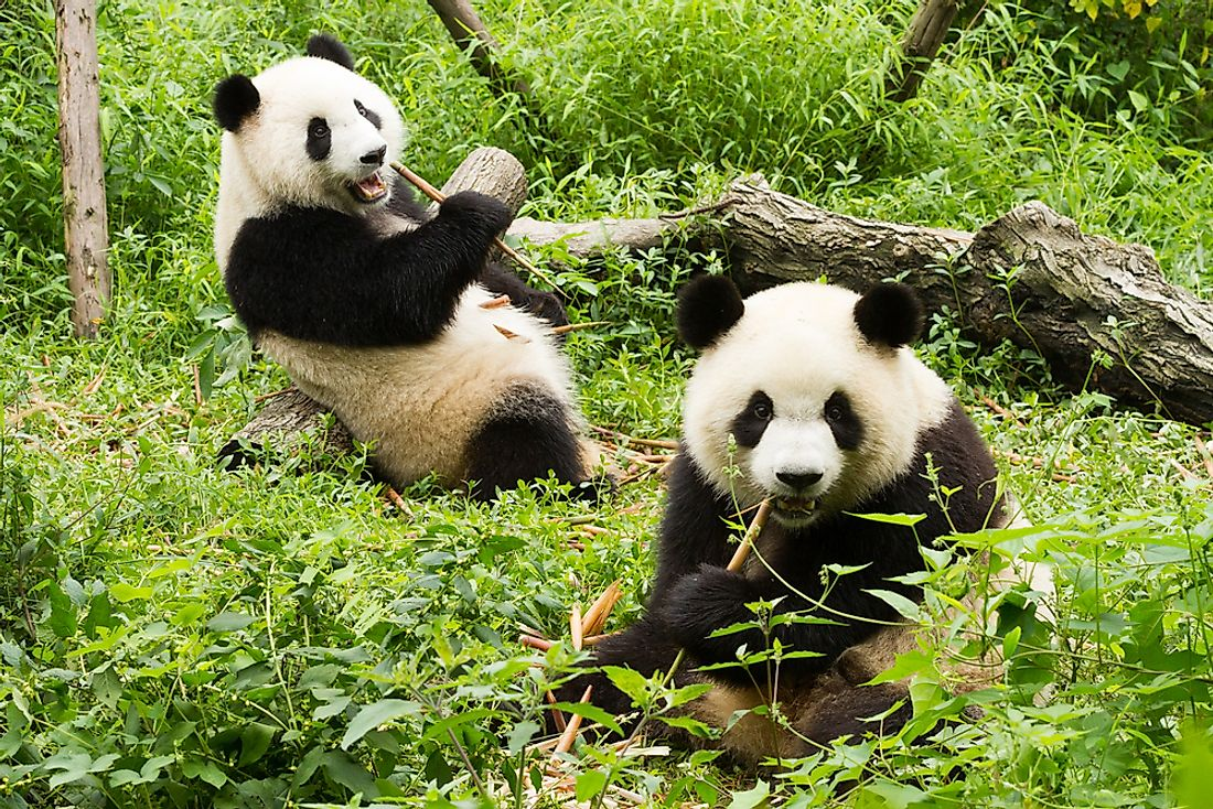Bamboo makes up about 99% of the giant panda's diet.
