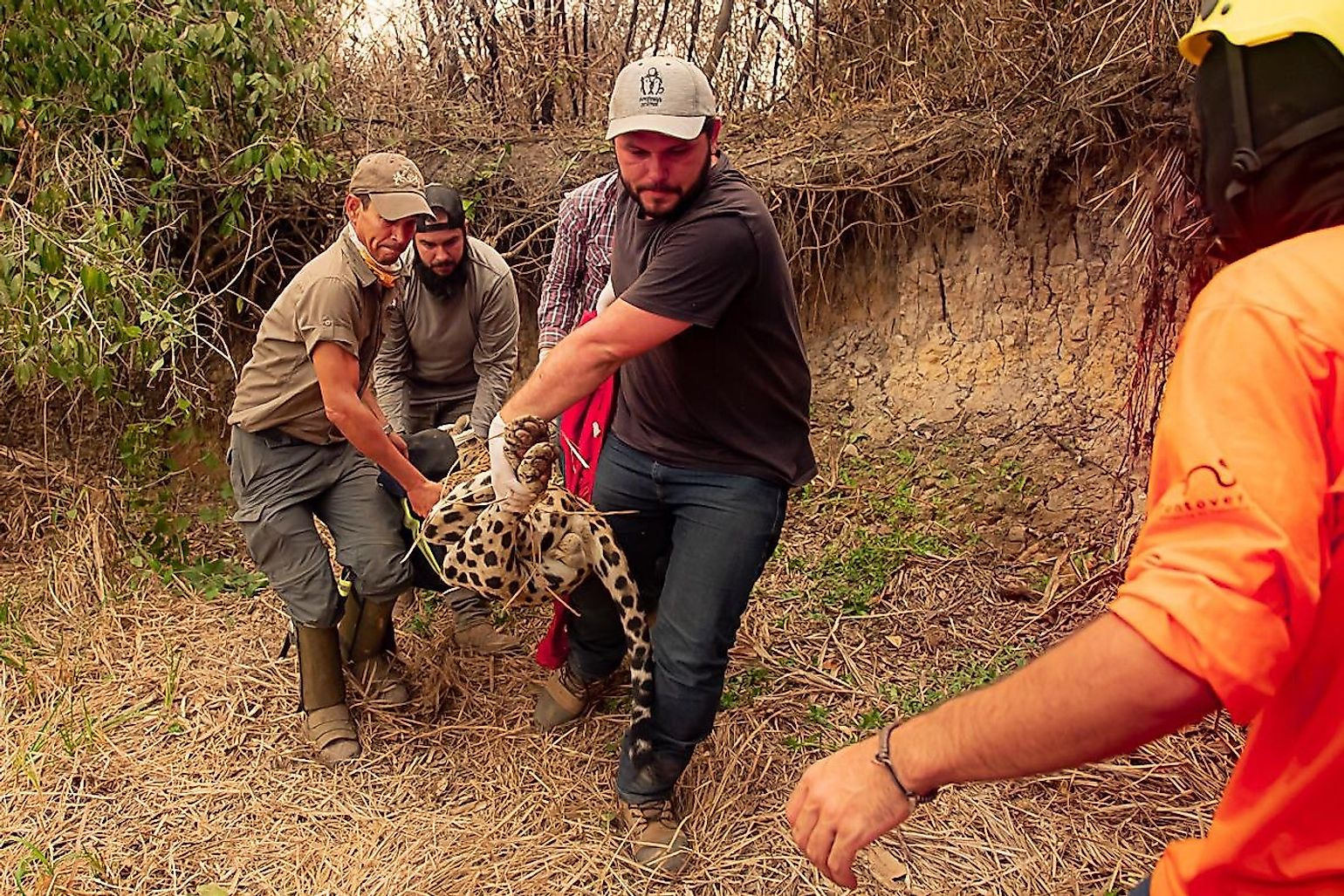 Panthera and volunteer veterinarians transport a young male anesthetized jaguar for treatment of its wounds. Image credit: Jose Medeiros