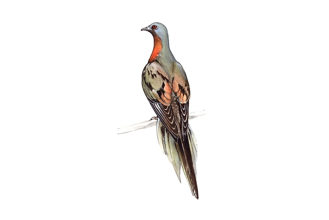 An artistic rendering of what passenger pigeons looked like.