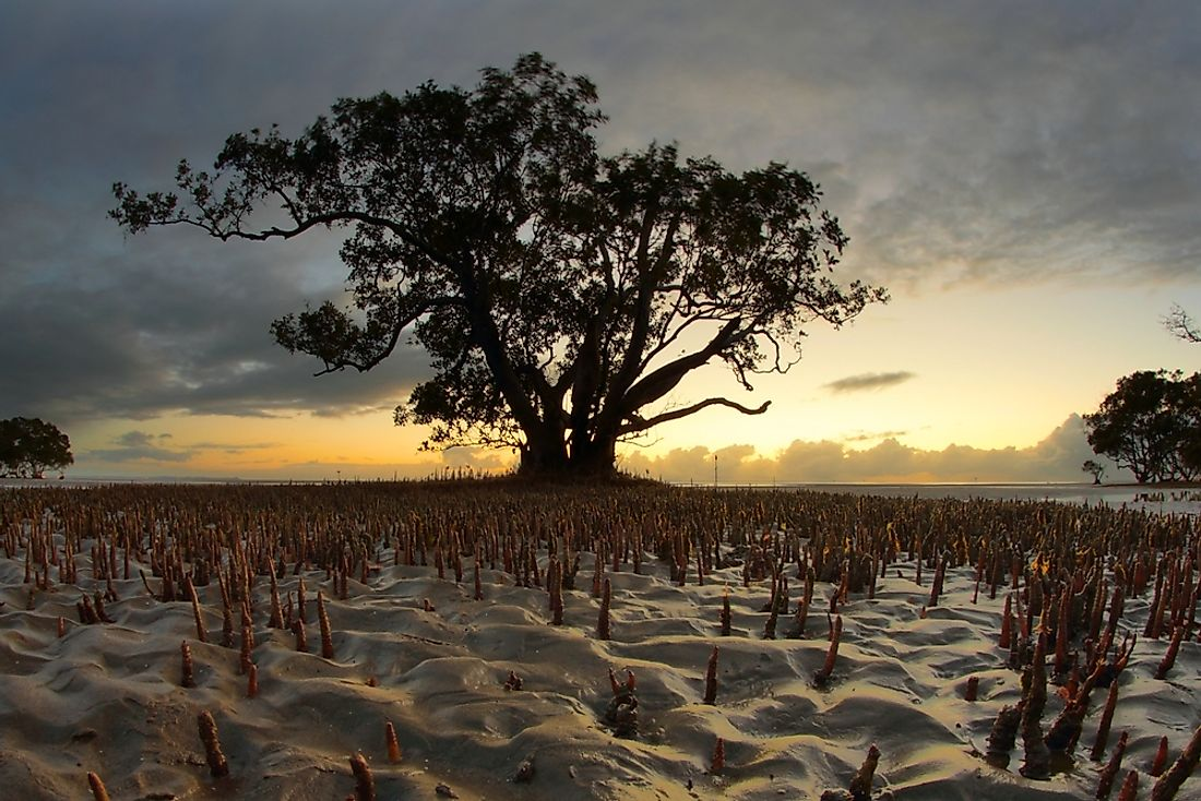A mangrove tree is seen in Australia.