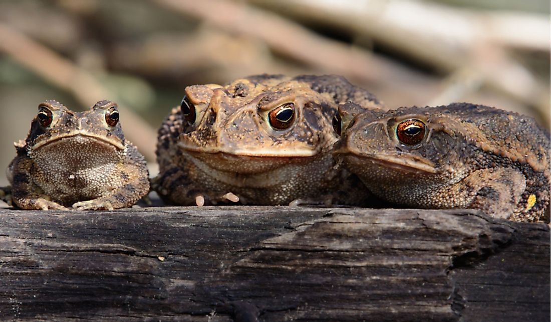 The Texas toad enjoys a wide range in the southern United States.