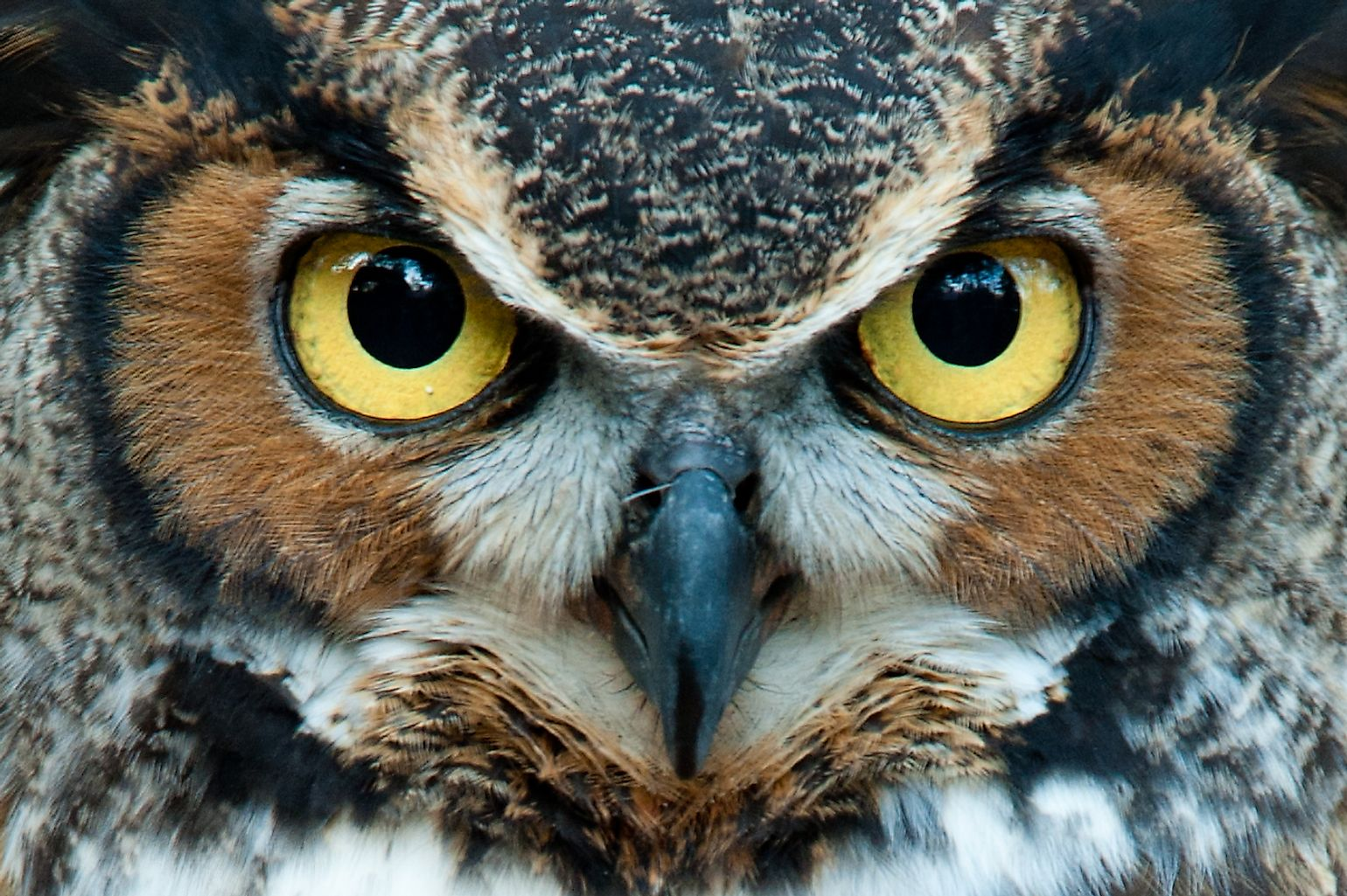 Great Horned Owl staring with golden eyes. Image credit: Jadimages/Shutterstock.com