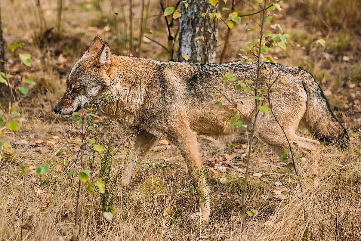 Mature Eurasian wolf in the wilds of Belarus.
