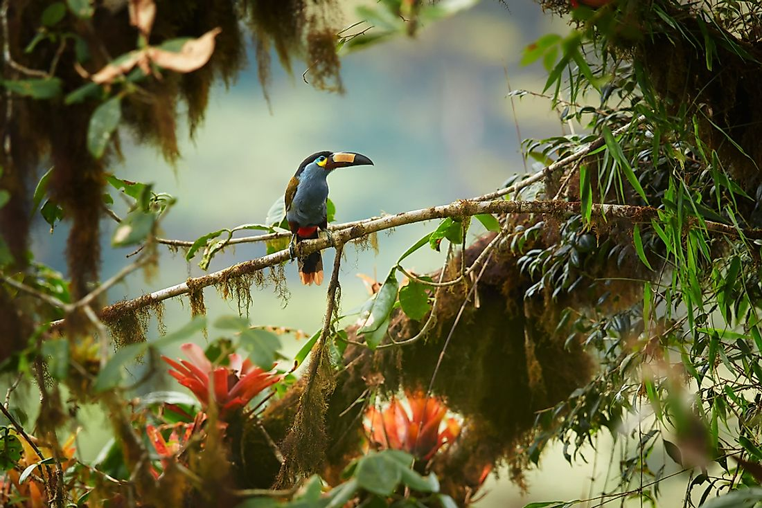 The plate-billed mountain toucan is one of the four extant species of toucans found in the Andes mountains today.