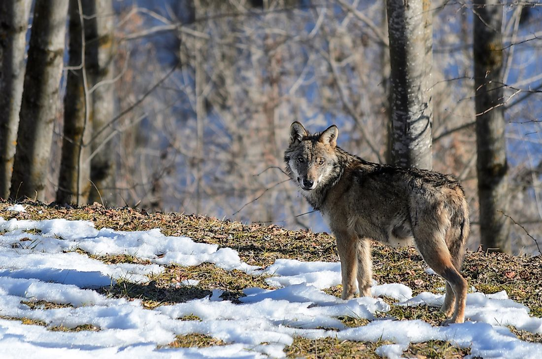 The Italian wolf is an example of a threatened mammal in Italy.