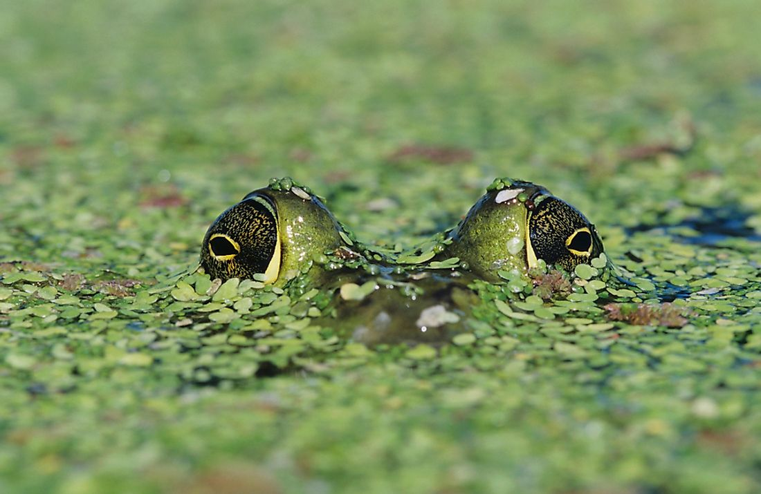 A study completed in the 1960s suggested that bullfrogs do not require sleep.
