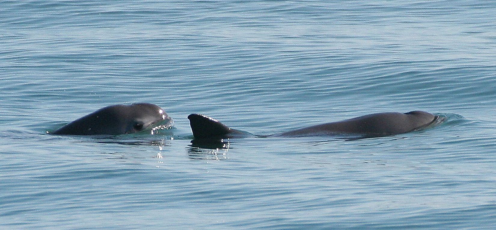 Two vaquitas. Image credit: Paula Olson, NOAA/Public domain
