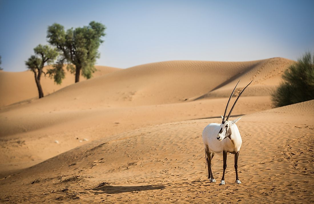 Wild populations of the Arabian Oryx exist in the deserts of the United Arab Emirates.