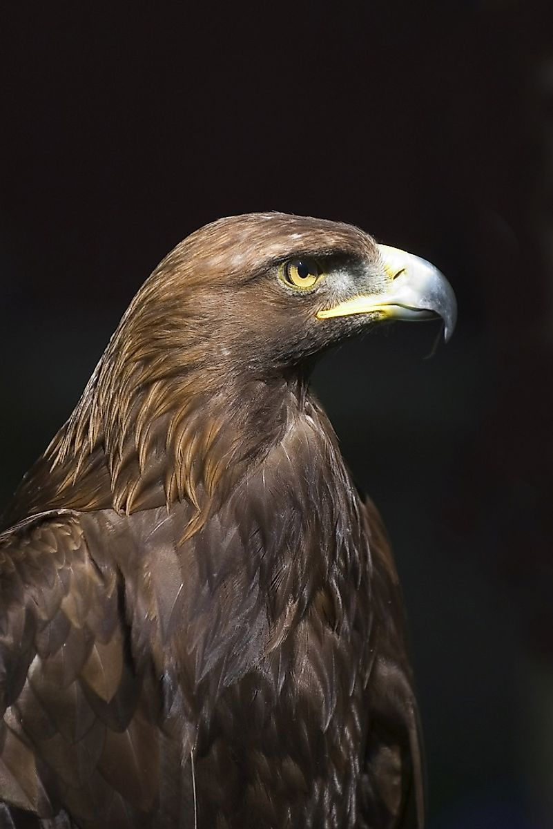 The American Golden Eagle (Aquila chrysaetos canadensis) sits atop the food chain throughout much of the North American Pacific West Coast.