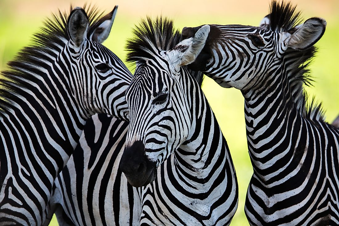 Zebras use their stripes as camouflage and for heat regulation.