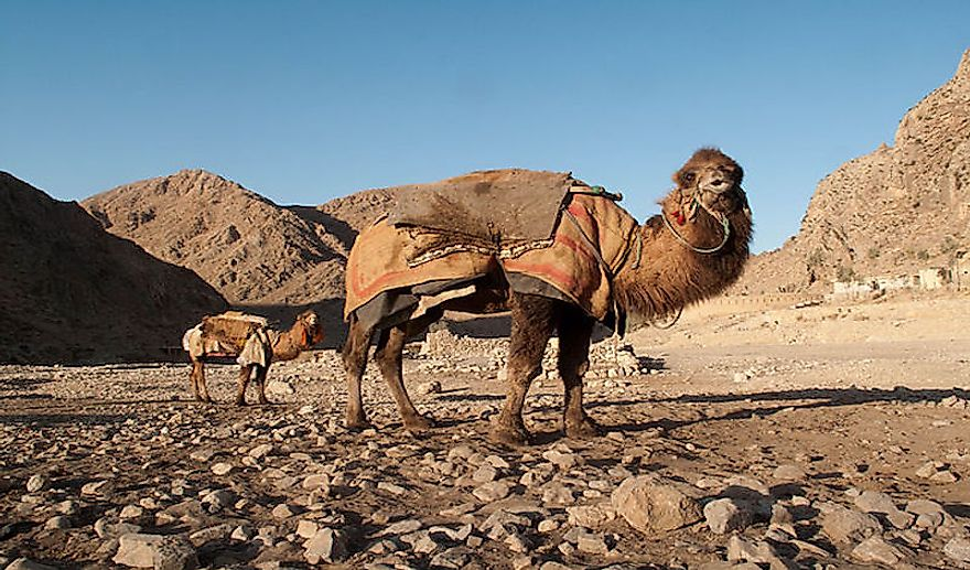 #4 Dromedary Camels And Goata