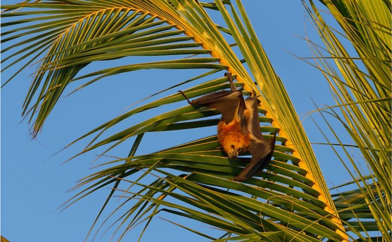 Mauritian flying fox (Pteropus niger) sitting in a palm tree near Le Morne in Mauritius, Africa.