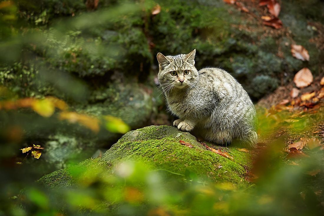A European wildcat.