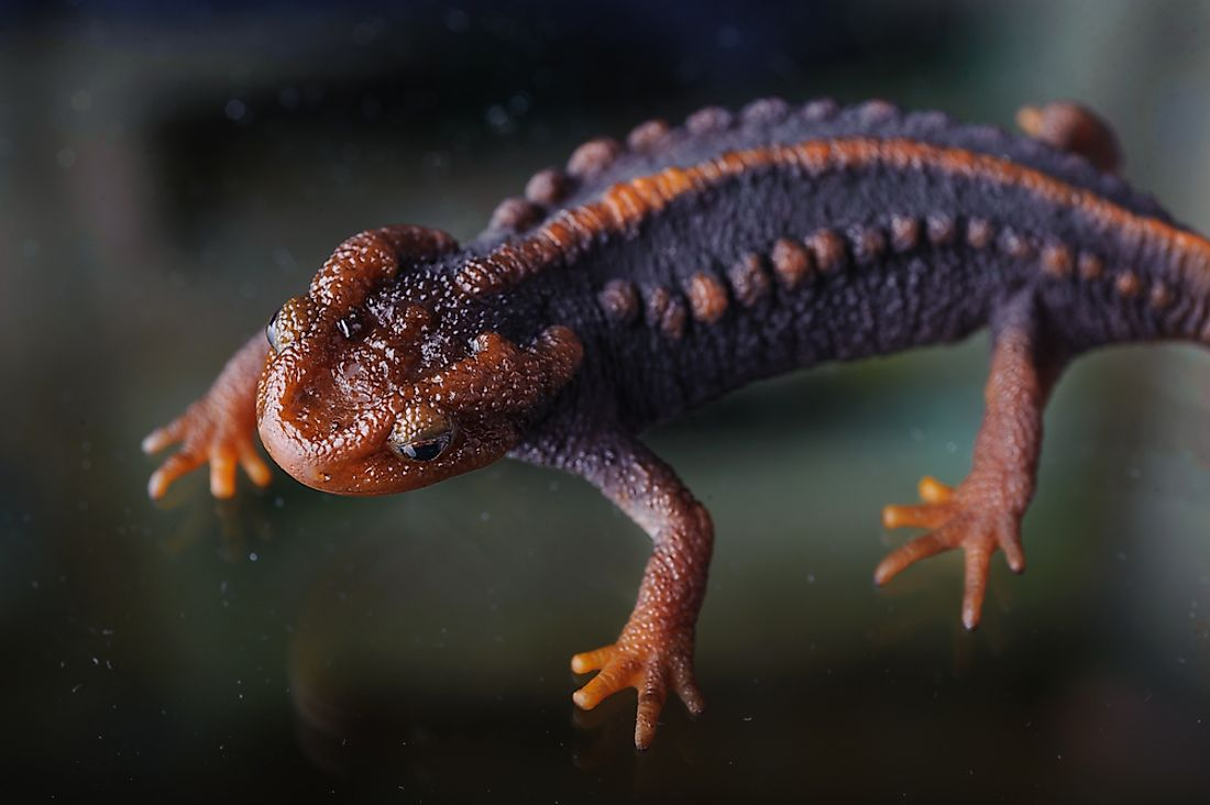 The Himilayan newt can be found in Malaysia.