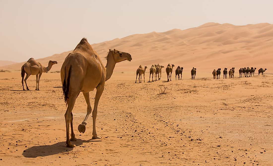 Camels living in the Liwa Desert.