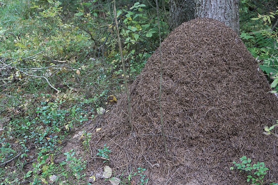 Ant colony insulating their nest with twigs and pine needles before winter.