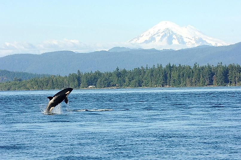 An Orca jumps up out of the waters of Puget Sound with Washington's snow-capped mountains in the background.
